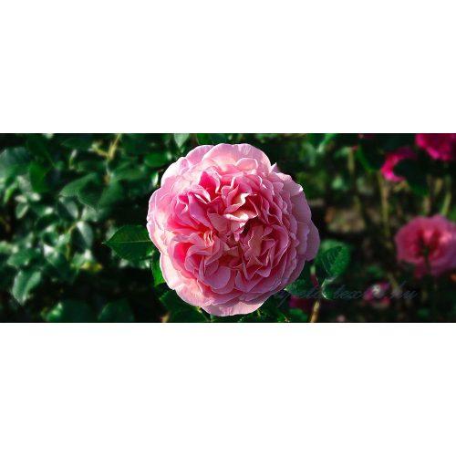Bazsarózsa vlies poszter, fotótapéta 1554VEP /250x104 cm/
