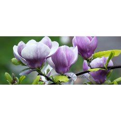 Magnolia poszter, fotótapéta 160VEP /250x104 cm/