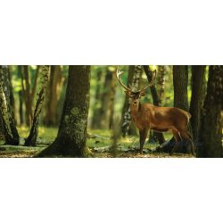 Szarvas az erdőben poszter, fotótapéta 2287VEP /250x104 cm/