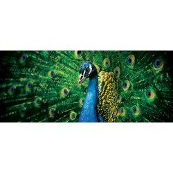 Páva poszter, fotótapéta 630VEP /250x104 cm/