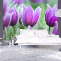 Fotótapéta - Lila tavasz tulipán
