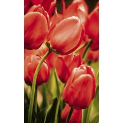 RED TULIPS fotótapéta, poszter, vlies alapanyag, 150x250 cm