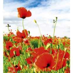 RED POPPIES fotótapéta, poszter, vlies alapanyag, 225x250 cm