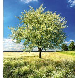 BLOSSOM TREE fotótapéta, poszter, vlies alapanyag, 225x250 cm