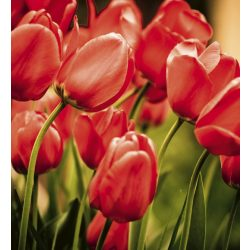 RED TULIPS fotótapéta, poszter, vlies alapanyag, 225x250 cm