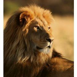 LION fotótapéta, poszter, vlies alapanyag, 225x250 cm