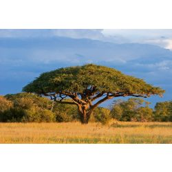 ACACIA TREE fotótapéta, poszter, vlies alapanyag, 375x250 cm