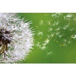 BLOWING DANDELION fotótapéta, poszter, vlies alapanyag, 375x250 cm