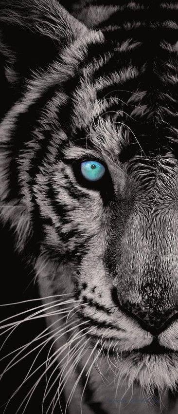 Tigris vlies poszter, fotótapéta 153VET /91x211 cm/