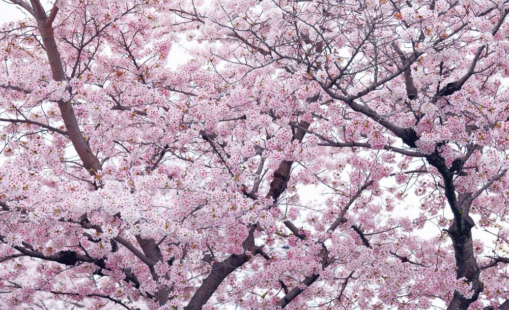 Cseresznyevirágzás poszter, fotótapéta Vlies (152,5 x 104 cm)
