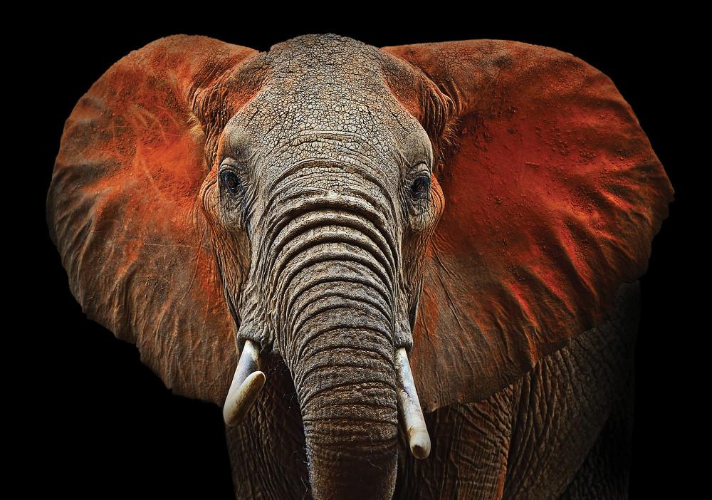 Elefánt fotótapéta több méretben, alapanyagban