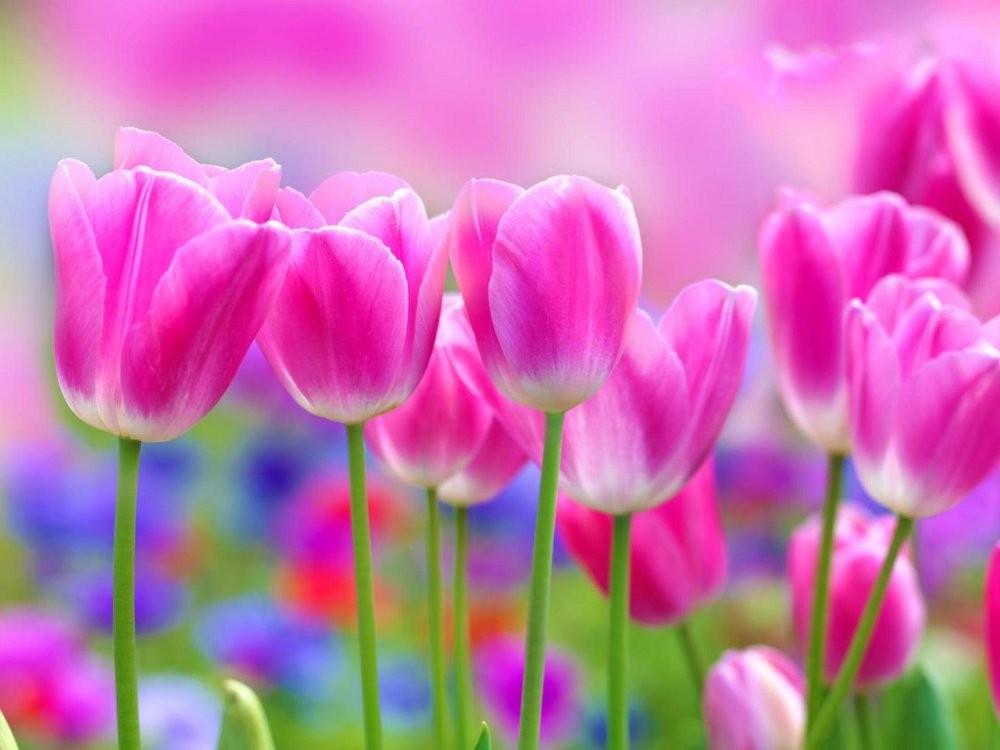 Tulipánok 273 több méretben, alapanyagban
