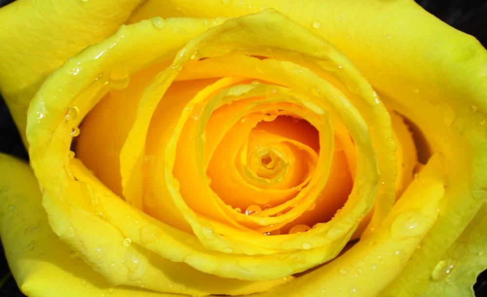 Rózsa fotótapéta több méretben, alapanyagban